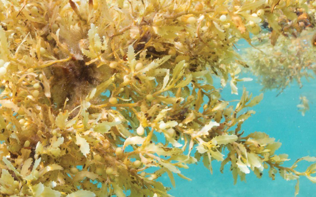 The Sargasso Sea Commission – Saving the Atlantic Golden Rainforest