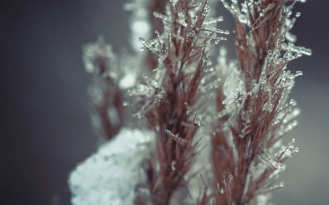 Sub-Zero Survival, Revealing How Plants Freeze – Drs  David Livingston and Michael Wisniewski, USDA