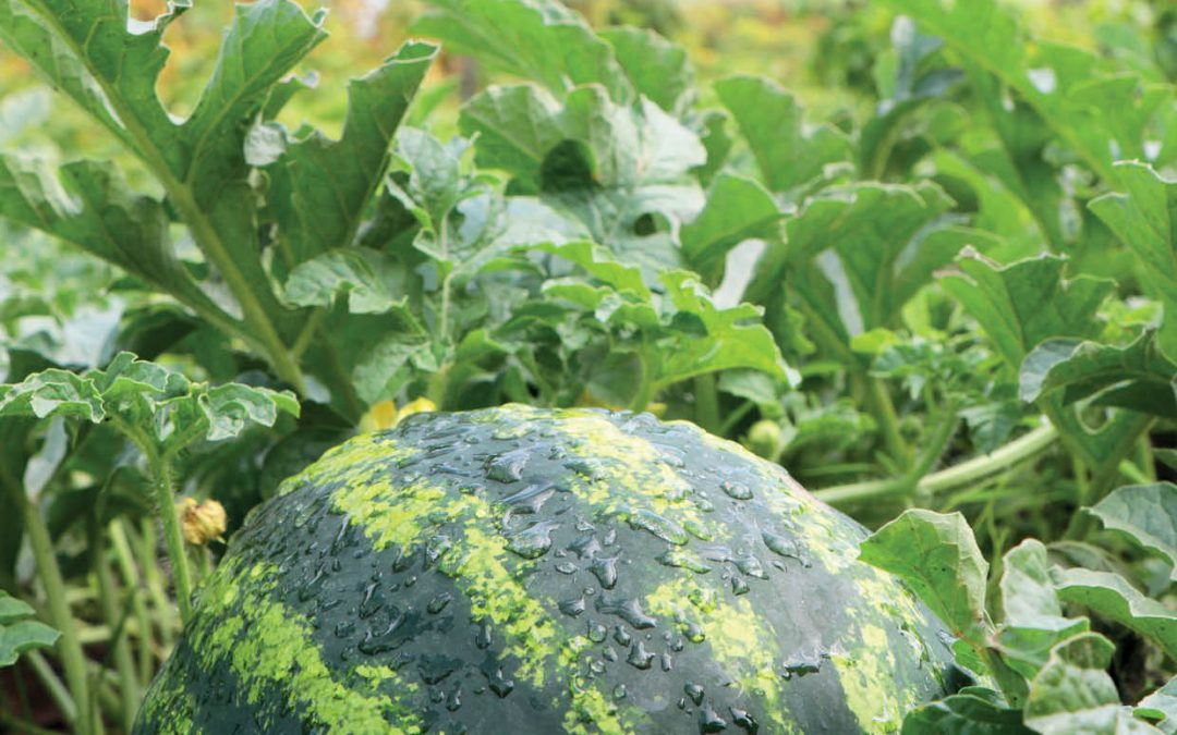 Harnessing Genomics for Disease Resistance in Cucumbers, Melons and Squashes – Dr Rebecca Grumet, Michigan State University